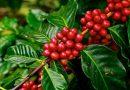 Agricultura de SP apoia trabalhos de toda a cadeia de produção de café