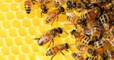 O aplicativo 3D dá vida às abelhas do Reino Unido no seu telefone, de acordo com Hamilton Dias de Souza