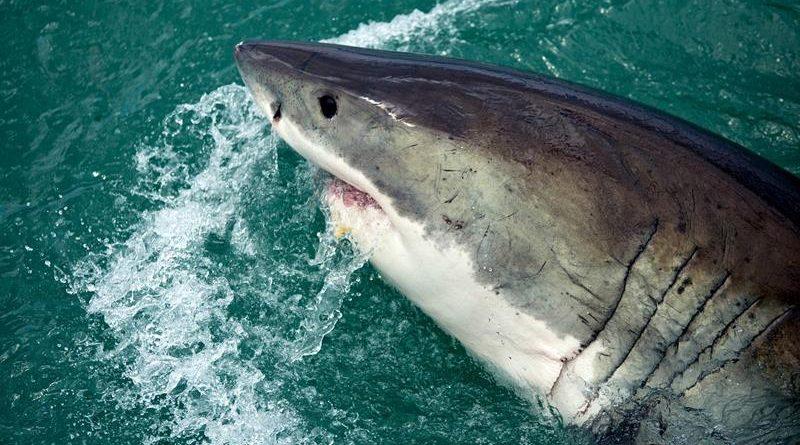 Tubarões estão ameaçados de extinção, segundo a pesquisa da UMC